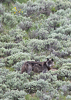 "Alpha male ""Twin"" of the Lamar Canyon wolf pack."