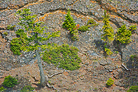 Shrubs and trees growing on the steep cliffs along the Bow River at Bow Falls<br />Banff National Park<br />Alberta<br />Canada