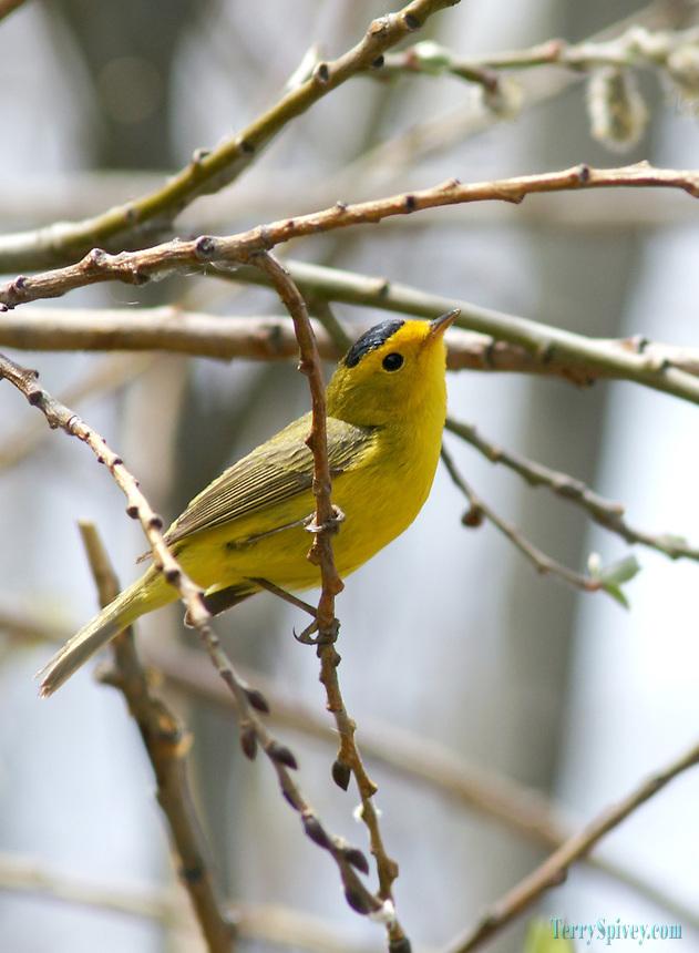 SONY DSC Wilson's Warbler,