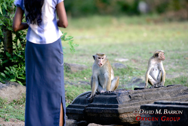 Sri Lankan & Toque Macaque
