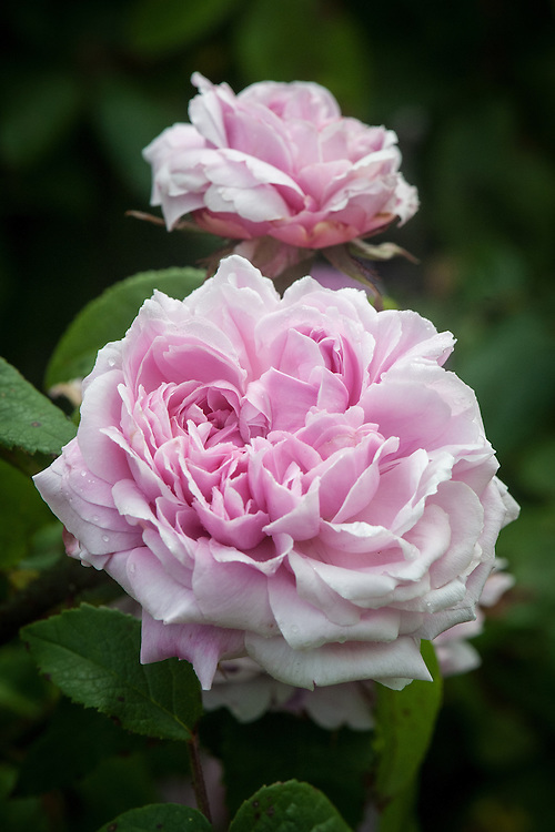 Rosa 'Jacques Cartier' (syn. Rosa 'Marchesa Boccella'), late June. an old Damask Portland rose bred in France and introduced as 'Marchesa Boccella' in 1842, but re-introduced as 'Jacques Cartier' in 1868. Large, rosette-shaped, rich pink flowers with a very strong fragrance, it repeat flowers almost continuously all summer.