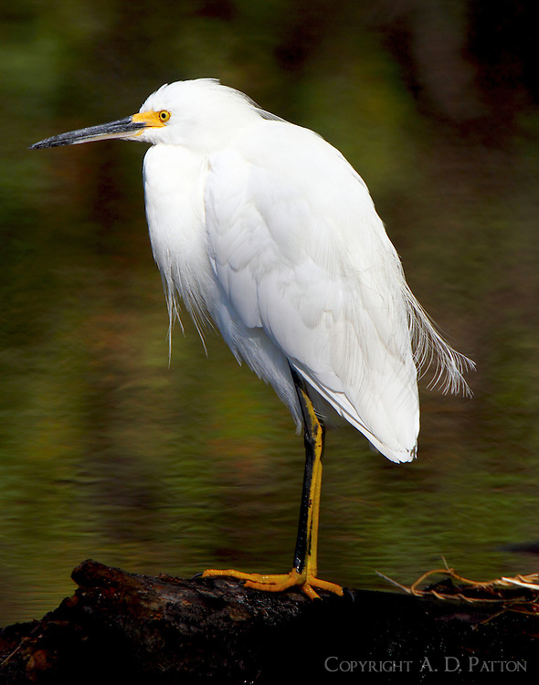 Adult snowy egret in non-breeding plumage
