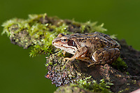 Common frog,  Rana temporaria, Whitewell, Lancashire.