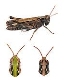 Woodland Grasshopper - Omocestus rufipes - female