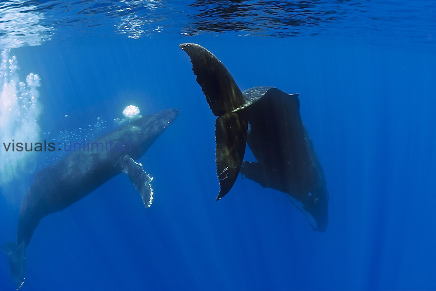 Humpback Whales (Megaptera novaeangliae) displaying courtship behavior, male approaches female while blowing bubbles aggressively, Hawaii, Pacific Ocean, USA.
