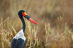 Saddle-billed Stork (Ephippiorhynchus senegalensis) female, Kafue National Park, Zambia