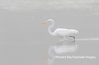 00688-02303 Great Egret (Ardea alba) in wetland in fog, Marion Co., IL