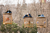 Laughing Thrushes hang in cages in a park, central Xian, China