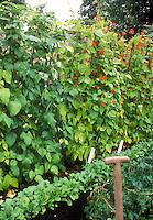Scarlet Runner Beans in garden with radishes, garden tool