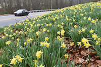 NWA Democrat-Gazette/FLIP PUTTHOFF <br /> DAFFODIL HILL<br /> Traffic moves Wednesday March 20 2019 alongside a hill full of daffodils beside Arkansas 94 in the Brush Creek neighborhood on the north side of Rogers. Travelers find daffodil thrills on the hill each spring when it bursts into bloom.