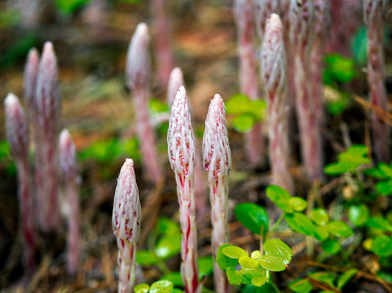 Barber pole, or Candy Stick (Allotropa virgata). Rogue River National Forest, Oregon