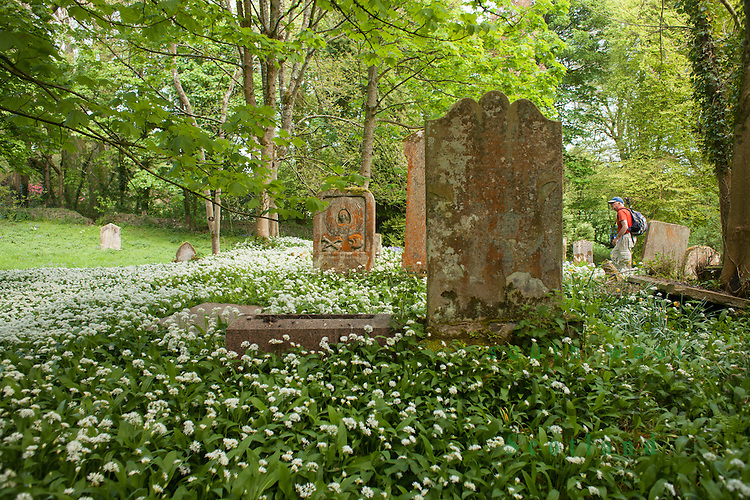 Old parish church of Kirkcolm and graveyard dedicated to St Columba dating back to at least the late 13th Century. Spring wild garlic surrounding the gravestones