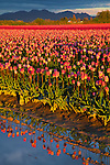 Skagit County, WA               <br /> Evening light on tulip field under clouds of a clearing spring storm