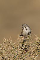578830019 a wild sage sparrow amphispiza belli nevadensis perches on a sagebrush branch in kern county california