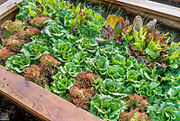 Mixed lettuces in a wooden frame raised bed