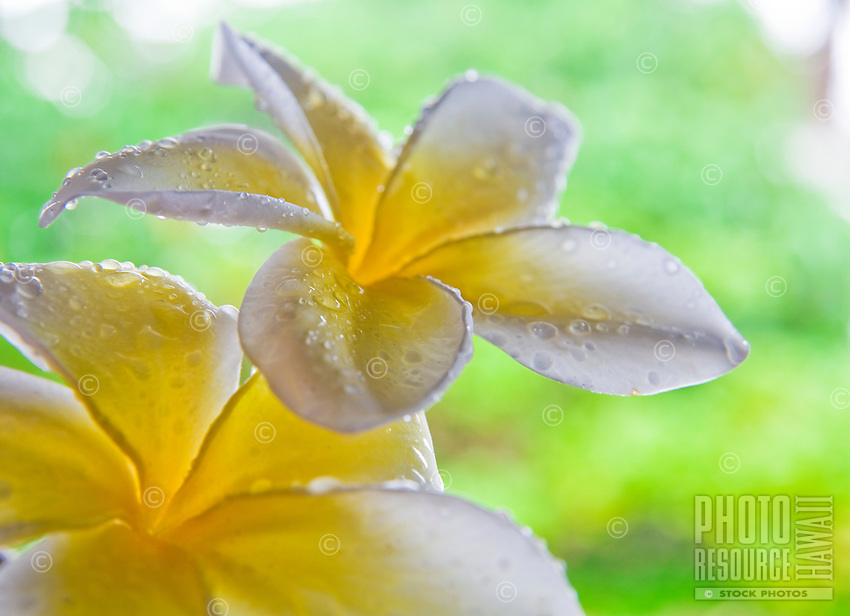 White and yellow plumerias with water droplets on the petals