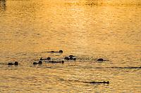 Southern Sea Otters (Enhydra lutris nereis).  Sunrise, Moss Landing, CA