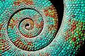 Panther chameleon tail {Furcifer pardelis}, Madagascar.