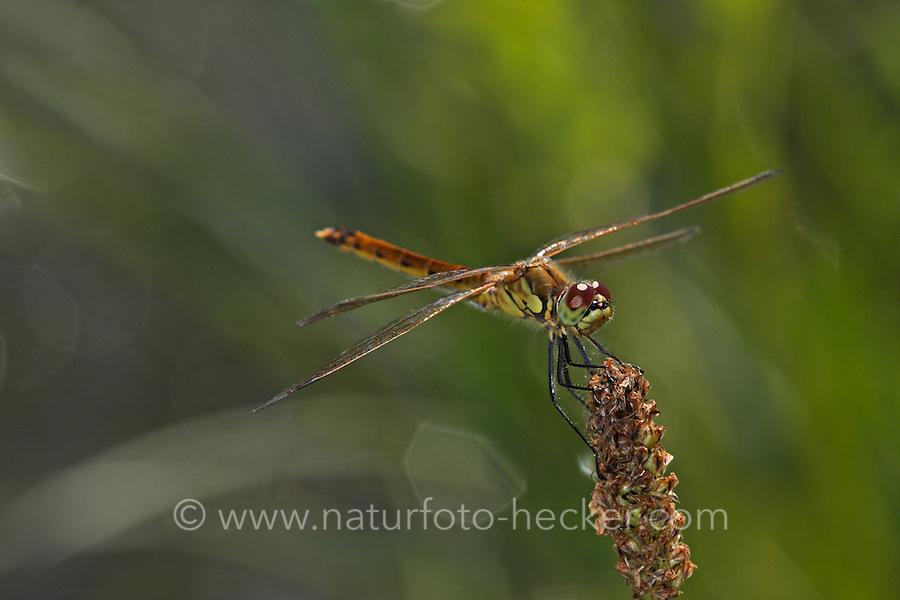 Sumpf-Heidelibelle, Sumpfheidelibelle, Sympetrum depressiusculum, Spotted Darter, Sympétrum déprimé