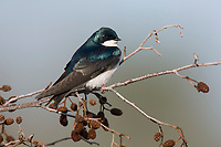 Adult Tree Swallow (Tachycineta bicolor). Tompkins County, New York. May.