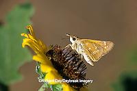 03729-00305 Sachem  butterfly (Atalopedes campestris) Starr Co. TX