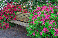 ORPTC_D216 - USA, Oregon, Portland, Crystal Springs Rhododendron Garden, Rhododendrons and azaleas in bloom alongside park bench.