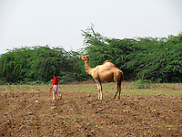 A young shepherd boy leading a camel in a village farm in a quite afternoon