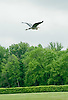 A Great Blue Heron flying over Delaware Park on 5/14/12