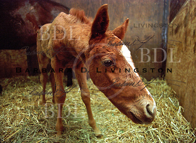 Lycius-Carabid filly, in late February, 2003.  © 2003 Barbara D. Livingston.  All rights reserved. easygoer78@aol.com.. scenic, mood, horse racing, pretty, racehorse, horse, equine, racetrack, track, saratoga