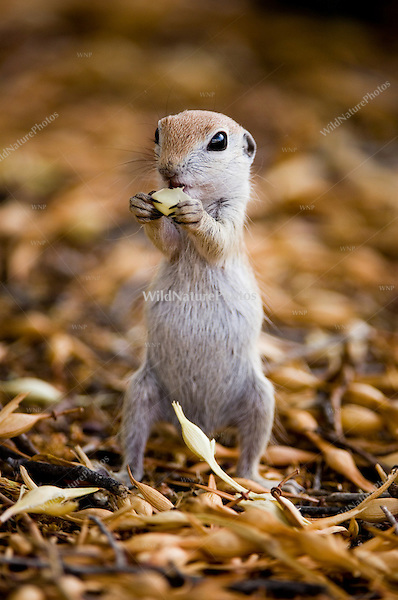 Round-tailed Groundsquirrel, Spermophilus tereticaudus
