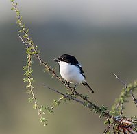 "Common Fiscal Shrike (Lanius collaris) (""Butcher Bird"") impales prey on thorns"