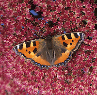 Small Tortoiseshell Nymphalis urticae  Wingspan 42mm. A colourful butterfly associated with waste and wayside areas where larval foodplant flourishes. Fond of basking in the sun, usually on bare ground. Adult has marbled orange, yellow and black upperwings; underwings are grey-brown. Double- or triple-brooded: flies March–October. Also hibernates. Larva is yellow and black and spiny; typically they are gregarious and feed on Common Nettle. Fairly common and widespread but much reduced in numbers in recent years.