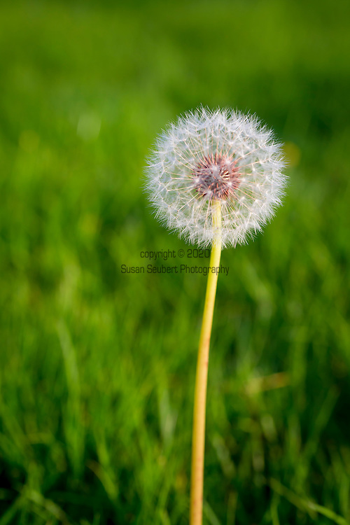A dandilion going to seed in a lawn