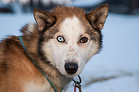 David Sawatsky's dog *Dusty* rests at the Nikolai checkpoint during Iditarod 2009