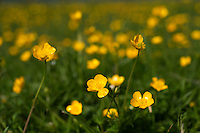 Flowers of creeping buttercup (Ranunculus repens).