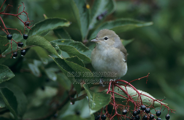 Garden Warbler, Sylvia borin, adult on Common Elderberry (Sambucus nigra), Oberaegeri, Switzerland, September 1998