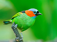 """Red-necked Tanager (Tangara cyanocephala), sitting on a branch, Atlantic Rainforest, State of S""""o Paulo, Brazil, South America"""