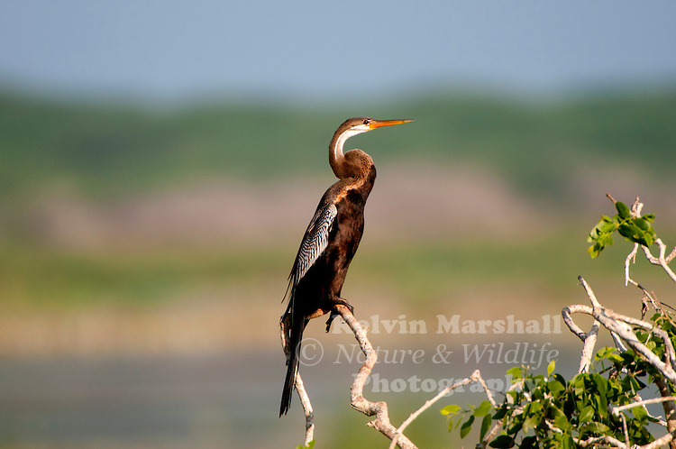 Oriental darter or Indian darter (Anhinga melanogaster ) is a water bird of tropical South Asia and Southeast Asia. It has a long and slender neck with a straight, pointed bill and, like the cormorant, it hunts for fish while its body submerged is in water. It spears a fish underwater, brings it to the surface and tosses it into the air before swallowing it. The body remains submerged as it swims, and the slender neck alone is visible above the water, which accounts for its other name: snakebird. Like the cormorants, it has wettable feathers and it is often found perched on a rock or branch with its wings held open to dry. Bundala National Park - Sri Lanka.