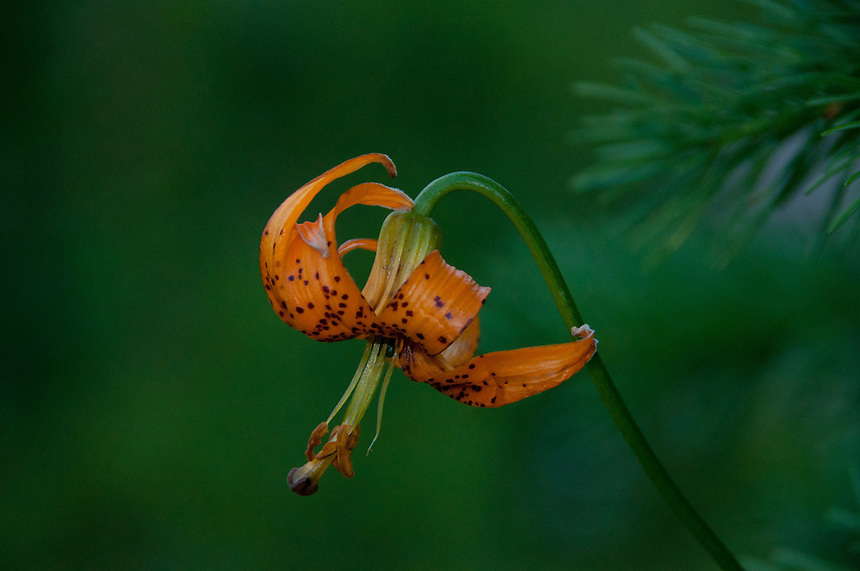 Tiger Lily, Alpine Lakes Wilderness, Mt. Baker-Snoqualmie National Forest, Washington, US
