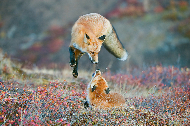 A pair of red fox frolicking in the fall colors on a cold autumn morning in Denali National Park. (Fall Season)