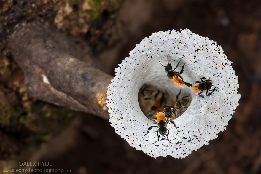 Nest entrance of Stingless Bees {Trigona sp.}. The entrance leads to chambers within  the tree that it projects from. Lowland dipterocarp rainforest, centre of Maliau Basin, Sabah's 'Lost World', Borneo.
