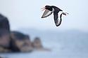 Oystercatcher (Haematopus ostralegus) in flight,  Isle of Mull, Scotland. June.