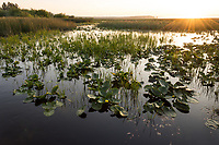 Wocus (Native American name) or Rocky Mountain Pond Lilies/Yellow Pond Lilies in Klamath Marsh National Wildlife Refuge, Oregon.  Sunrise.