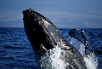 A close look at the front end of a breaching humpback whale  Megaptera novaeangliae off the Big Island of Hawaii.