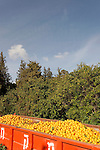 Israel, Mount Carmel. Orange grove by Ofer forest scenic road