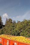 Israel, Mount Carmel. Orange grove by Ofer forest scenic road