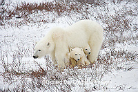 01874-110.03 Polar Bears (Ursus maritimus) female & 2 cubs near Hudson Bay, Churchill  MB, Canada