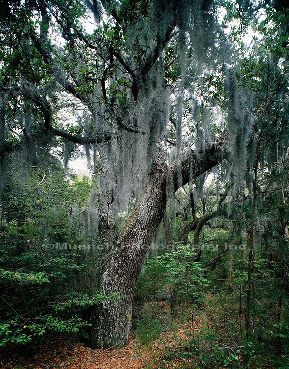 Live Oak with Spanish Moss Fort Raleigh NHS  NORTH CAROLINA