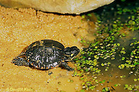1R13-075z  Painted Turtle - young turtle going into duckweed pond - Chrysemys picta