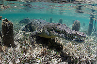 An American Crocodile underwater in Cuba.